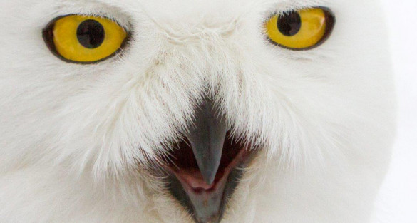 Snowy Owl 'Geneseo' Going to Rack up Frequent Flyer Miles