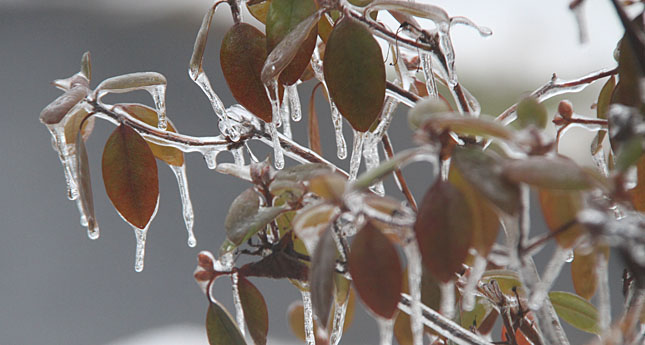 Ice covers shrubs in Perry. (Photo/ Josh Williams)