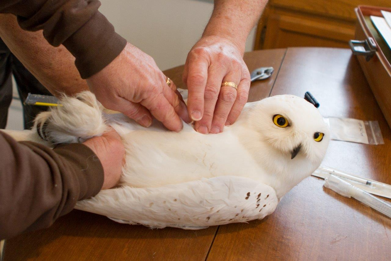 Tracked Snowy Owls Cruise Shores of Lake Ontario