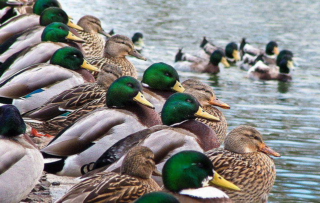 DEC Asks Hunters for Waterfowl Hunt Dates