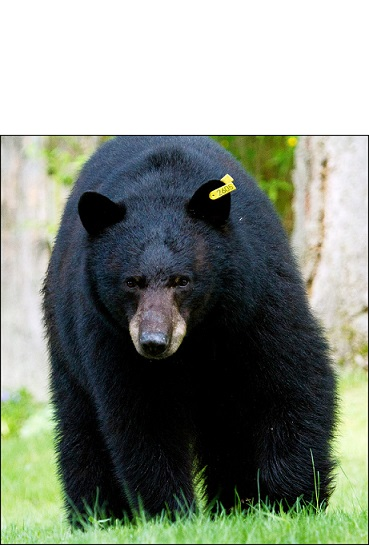 Ossian and Springwater Hunters Take 5 Bears for 2014