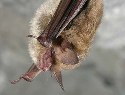 Bats Need Beauty Sleep, DEC says Avoid Caves and Mines