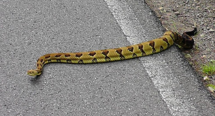 Rare Golden Rattler Spotted in Letchworth State Park
