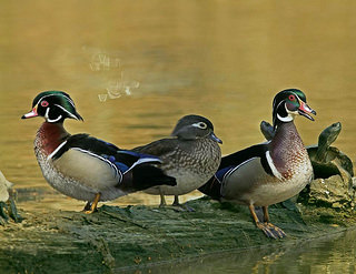 Wood ducks. (Photo/Flickr.com)