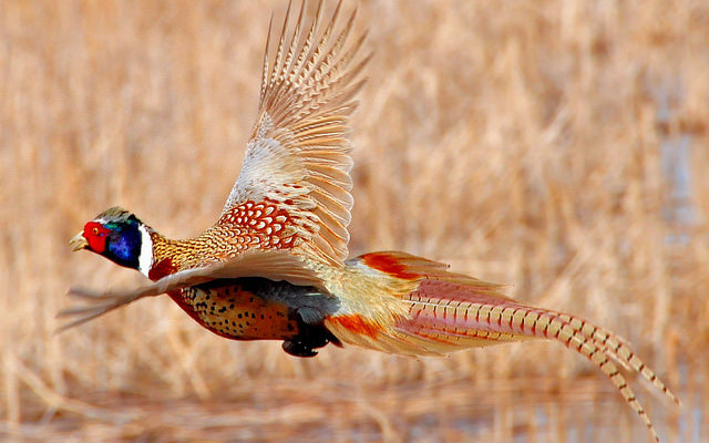 DEC to Release Pheasants in Livonia and Springwater for Hunting Season