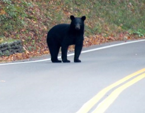Bears Sighted on the Move Through Letchworth State Park