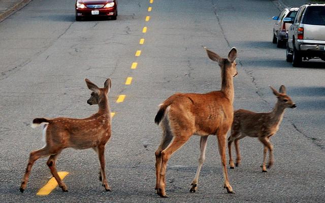 Watch for Deer in their Season of Love