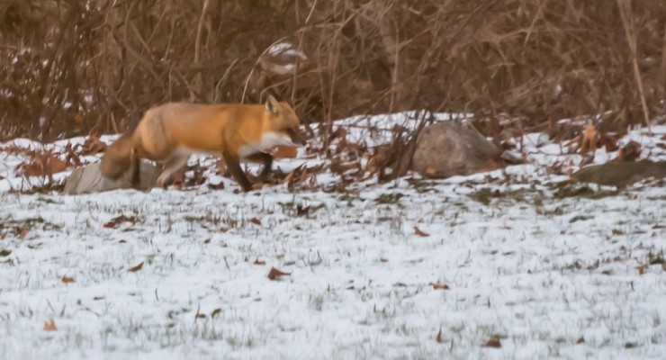 Betrothed Foxes Move into Village of Geneseo
