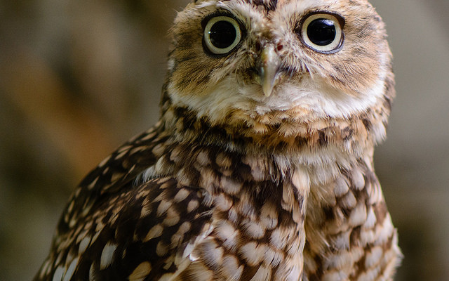 Live Owls Coming to Chip Holt Nature Center