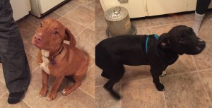 (L-R) The female and male dogs. (Photos/Caledonia Police Department)