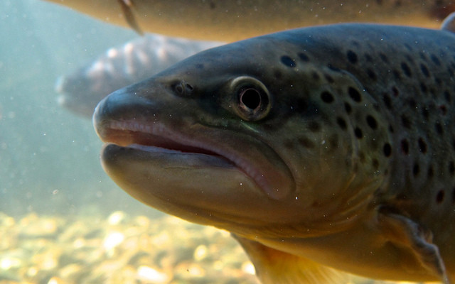 DEC Invites the Public to Rainbow Trout Sampling in Finger Lakes