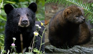 (L-R) Black bear and fisher. (Photos/Flickr.com)