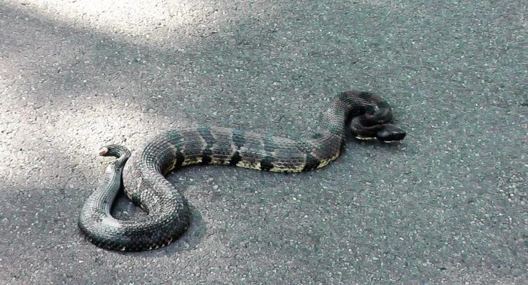 WATCH: Hiker Nudges Black Rattlesnake from Letchworth State Park Road