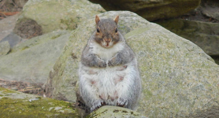 Ready to Pop, Pregnant Squirrel Captures the Hearts of Letchworth State Park