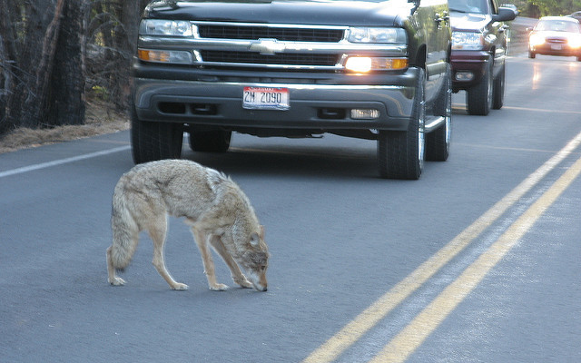 Keep Denning Coyotes Barking, not Biting, with DEC Safety Tips