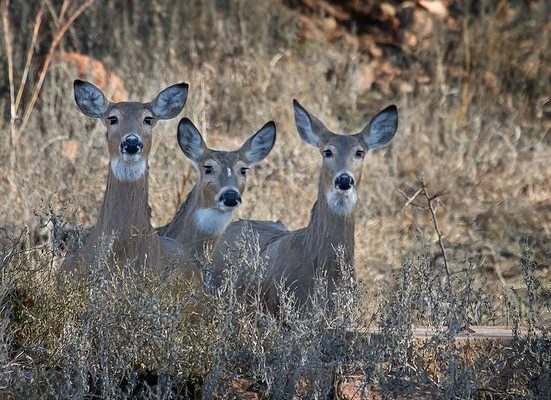 Dwindling Avon Deer Committee Asks for Exception to No Bow Rule