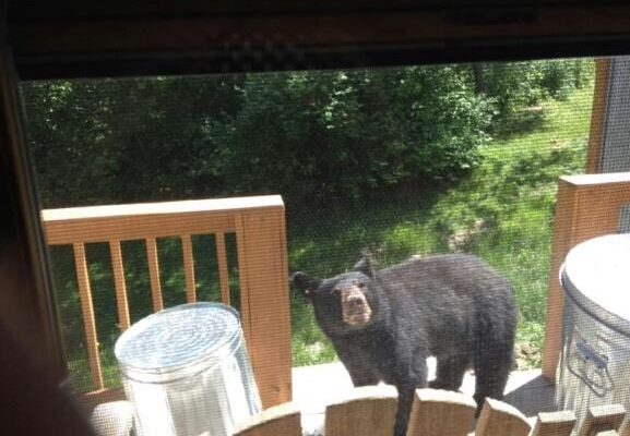 Bad-Mannered Bear Stealing from Neighbors in Springwater