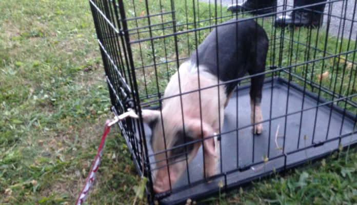 Village Officials Apprehend Runaway Porker in Geneseo