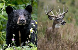 NYS Opens Northern Livingston County to More Bear and Buck Hunting