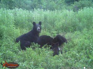 The bears. (Photo/Mark Van Norman)
