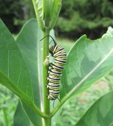 Troops of Monarch Caterpillars Eat Letchworth's New Butterfly Garden for Fall Migration