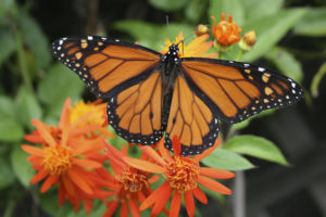 An adult male monarch butterfly. (Photo/Adam Skowronski via Flickr.com)