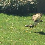 The hawk takes off. (Kristi Miettunen Hughes)