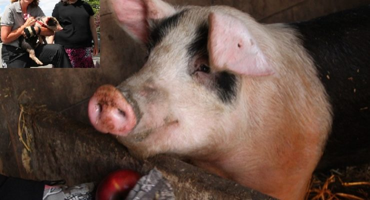 Geneseo's Rescued Runaway 'Genny the Pig' to be Petting Zoo Star