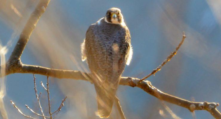 Endangered Falcons Hunt Mount Morris Dam
