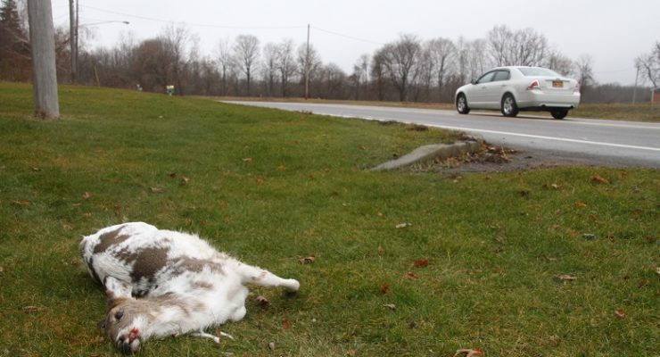 Avon Loses Protected Piebald Deer to Car