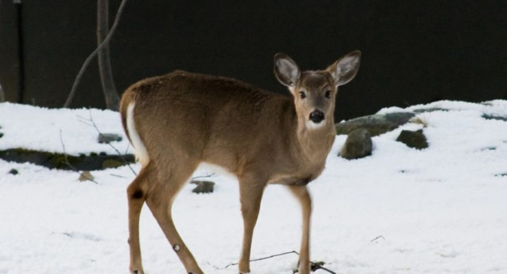 Public Input Decides Fate of State's Deer for Next Five Years