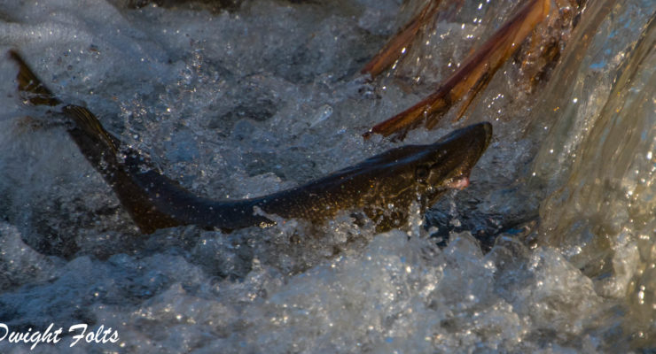 Love is in the Water as Pike Run at Conesus Inlet