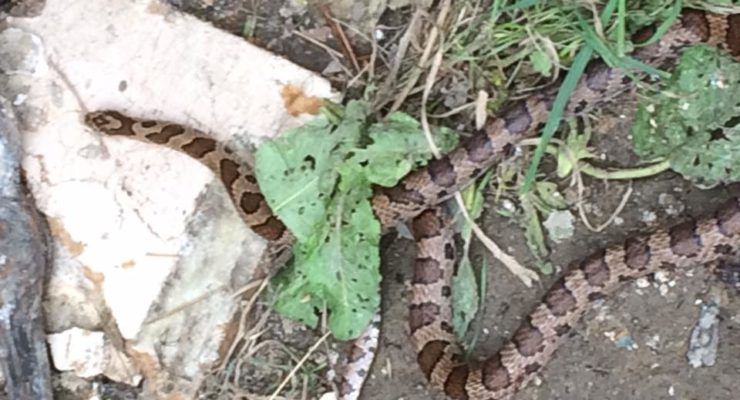 Mystery Snake Falls from Rafter of Portageville House