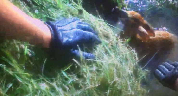 WATCH: Geneseo Police Officer Saves Fawn from Ditch