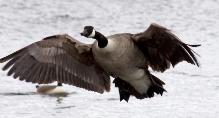 Goose Season Starts Friday Morning