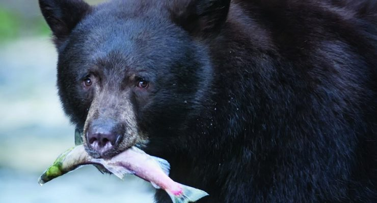 DEC Says Dine on Bear this Hunting Season