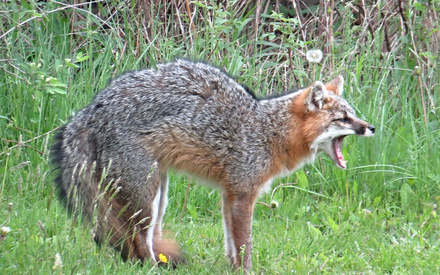 Officials Confirm Rabies in Livonia Fox Attack