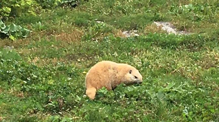 Blonde Woodchuck Turning Heads on SUNY Geneseo Campus