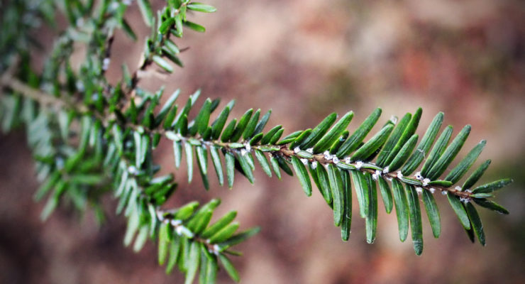Cornell and DEC Now Breeding Predators for Hemlock Pest