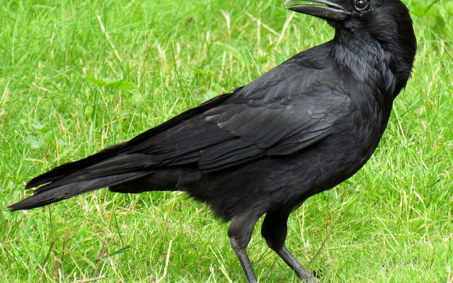 SUNY Geneseo Might Use 'Pyrotechnics' to Scare Pooping Crows