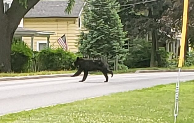 Bear Takes Sight Seeing Tour Through Village of Geneseo