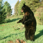 Local Outdoor Writer Provides Bear Call Tips on How to Bring Them Close
