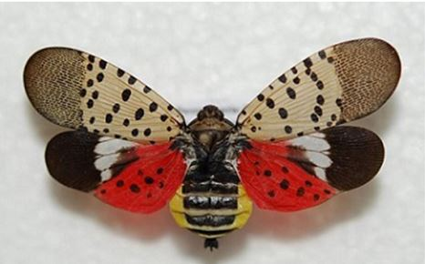 The Dreaded Spotted Lanternfly Found in New York State
