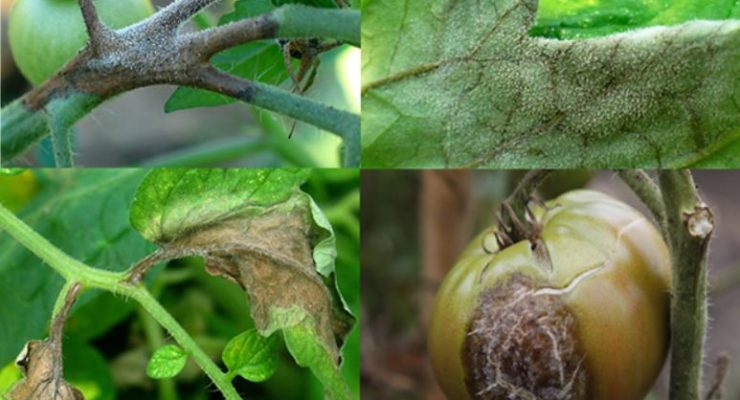 Late Blight Detected in Allegany County
