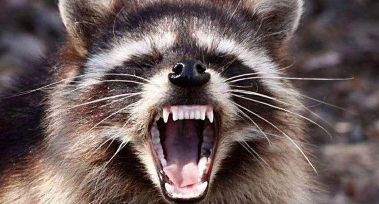 Rabies Positive Raccoon in the Town of Geneseo, Livingston County