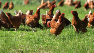 Keeping Backyard Poultry Safe For Them & You By Nancy Glazier, Small Farms & Livestock Specialist