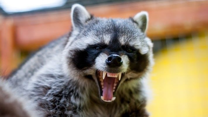 Rabies Positive Raccoon in the Town of Livonia