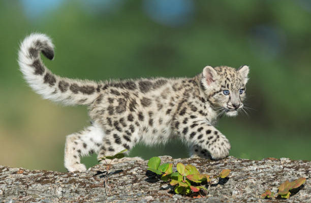 Naming Contest for new Snow Leopard Cub